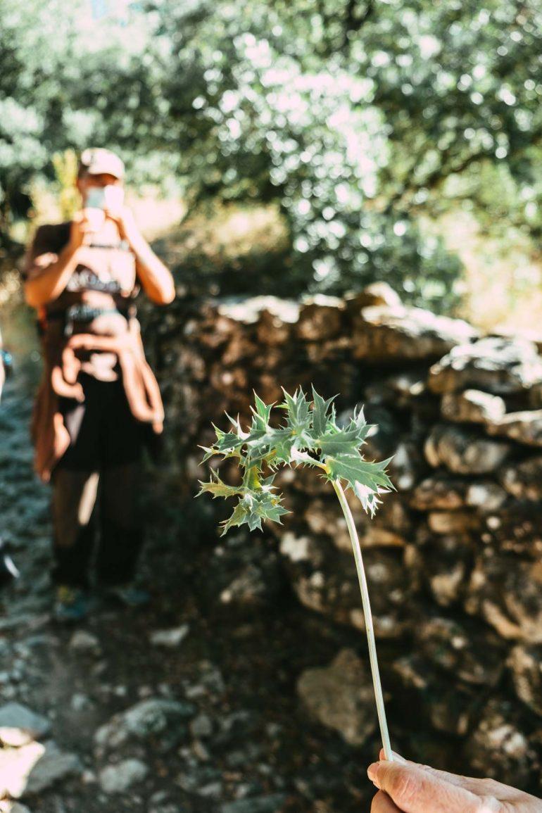 Cardo corredor. Haciendo ecoturismo en Rodellar por sus senderos botánicos | La maleta extraviada
